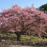 河津桜が見頃