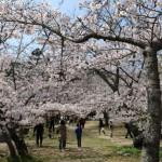 桜、広角レンズが欲しい